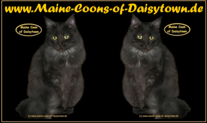 Maine-Coons-of-Daisytown.de die Maine Coon Cattery